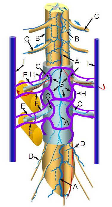Spinal column anatomy illustration